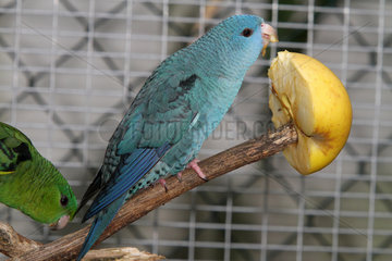 Catherine parakeet (Bolborhynchus lineola)  female mutation partial blue single dark factor