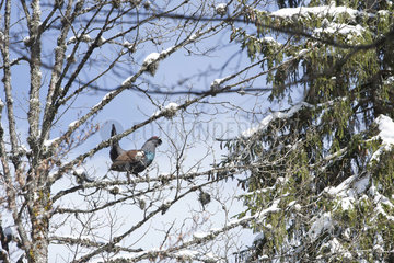 Western Capercaillie (Tetrao urogallus major) male displaying on a branch  Slovenia