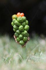 Fruits of wild arum Midlands