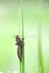 Exuvie Dragonfly Prairie FouzonTouraine France