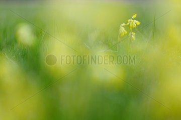 Cowslip Primrose in bloom Prairie FouzonTouraine France