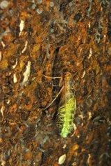 Transformation of a caddis larva in a pool Prairie Fouzon