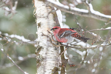 Pine Grosbeak male eating berries in winter - Finland