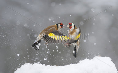 Fight between Goldfinches (Carduelis carduelis) for fallen seeds in the snow  Regional Natural Park of the Vosges du Nord  France