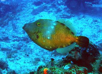 Whitespotted filefish (Cantherhines macrocerus)  Cozumel  Caribbean Sea  Yucatan  Mexico