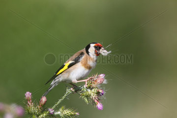 Goldfinch male eating on a thistle - France