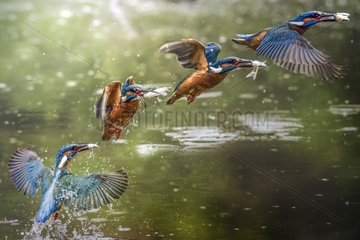 King fisher (Alcedo atthis)  fishing  Ravenna  Italy