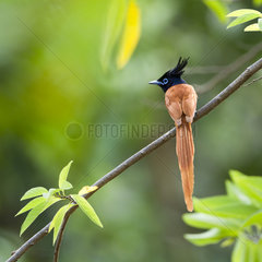 Asian paradise flycatcher on a branch - Minneriya Sri Lanka