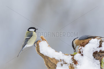 Wood Nuthatch (Sitta europaea) and Great tit (Parus major) eating seeds on a snowy tree stump in winter  Alsace  France