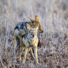 Black-backed jackal (Canis mesomelas) mating  Kruger National Park  South Africa
