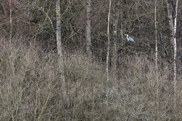 Gray heron (Ardea cinerea)  Resting on a tree in winter  Forest on the shore of Lake Madine  Lorraine  France