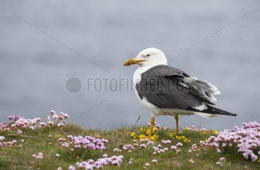 Lesser black-backed gull (Larus fuscus) Gull amongst thrift  Shetland  Spring