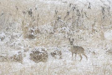 Western Roe Deer in Winter  Capreolus capreolus  Female  Hesse  Germany  Europe
