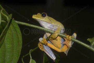 Tree Frog on a rod - French Guiana