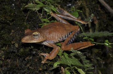 Troschel's Tree Frog - French Guiana