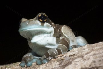 Mission Golden-eyed Treefrog blue - French Guiana