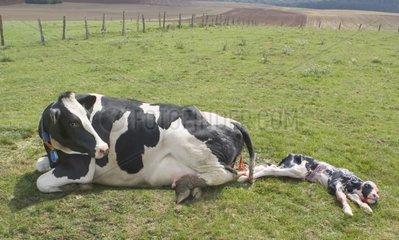 Vêlage de Prim'Holstein au pré