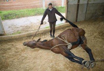 Horse blocked for castration France