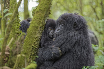 Gorilla (Gorilla beringei beringei) female protects its young - Rwanda