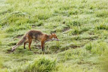 Red Fox (Vulpes vulpes) eating a worm in the grass  Vosges Mountains  France