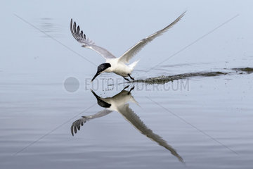 Sandwich tern (Sterna sandvicensis)  cleaning is beak in flight at the surface of the water in spring  Sebastopol Polder  Noirmoutier island  Atlantic Coast  France