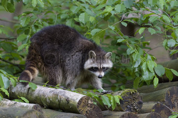 Raccoon  Procyon lotor  Hesse  Germany  Europe