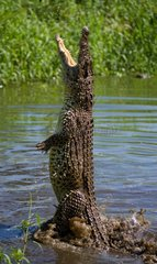 The Cuban crocodile jumps out of the water. A rare photograph.