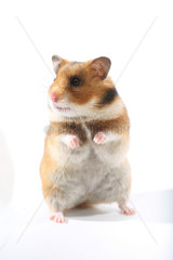 Domestic Golden Hamster (Mesocricetus auratus)  frontal on its hind legs on a white background.
