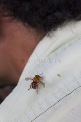 The Melipona are bees without darts. Training organized by the Chico Mendes Scientific Institute for Ribeirinhos populations living along the Araguari River in the Amazon with the objective of producing honey initially for personal consumption and eventually for sale; Trainer Douglas Schwank.
