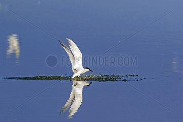 Sandwich tern (Sterna sandvicensis)  Juvenile flying away in spring  Sebastopol Polder  Noirmoutier island  Atlantic Coast  France