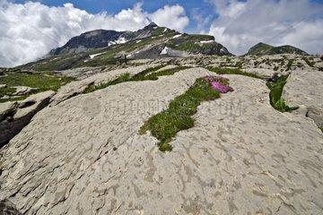 Argillaceous limestone rich burrows Shrimp - Alpes France