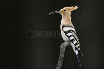 Hoopoe on a branch - Hungary
