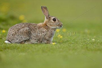 Rabbit in the grass - Lunga Inner Hebrides UK