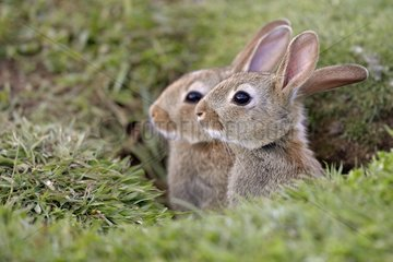 Young Rabbits in burrow - Lunga Inner Hebrides UK