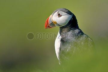 Portrait of Atlantic Puffin - Lunga Inner Hebrides UK