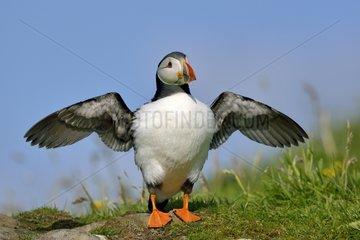 Atlantic Puffin open wings - Lunga Inner Hebrides UK