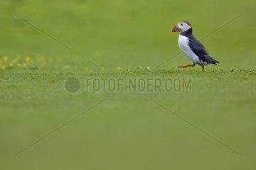 Atlantic Puffin in grass - Lunga Inner Hebrides UK