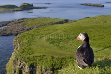 Atlantic Puffin at the top of the clif- Lunga Inner Hebrides