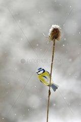 Blue tit in dry teasel in winter - Lorraine France