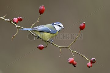 Blue Tit on Wild Rose fruits - Lorraine France