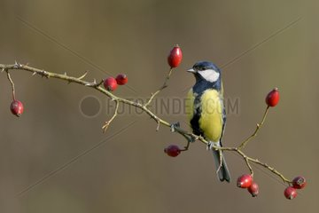 Great Tit on Wild Rose fruits - Lorraine France