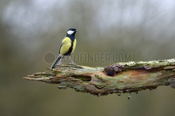 Great Tit on a branch - Lorraine France