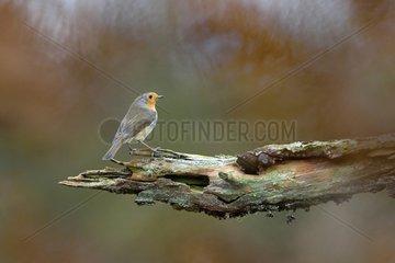 European Robin on a branch - Lorraine France