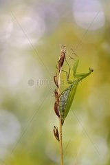 Praying mantis on a wilted orchid - Lorraine France