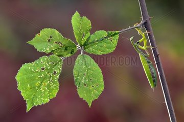 Praying mantis on the lookout on a bramble - Lorraine France