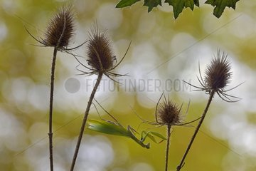 Praying mantis on the lookout on Teasel - Lorraine France
