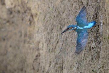 Kingfisher male in flight living the nest - Lorraine France