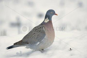 Wood pigeon in winter snow - Lorraine France