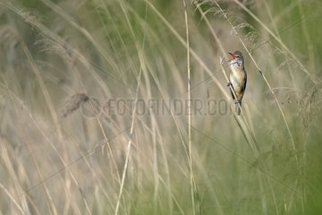 Great Reed Warbler male singing on reed - Luxemburg