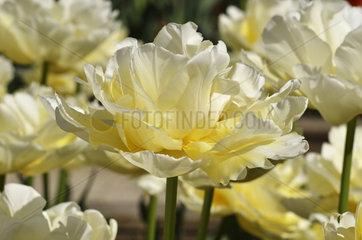 Tulips 'Verona' in bloom in a garden